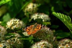 蝴蝶 通配的花 图库摄影