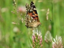 蝴蝶1 免版税图库摄影