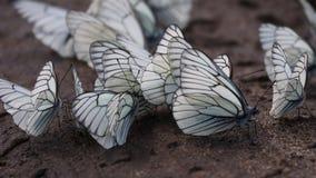 蝴蝶 aporia黑色crataegi成脉络的白色 库存照片