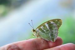 蝴蝶- Argynnis paphia女性 免版税库存图片