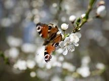 蝴蝶- Nymphalis urticae 免版税库存图片