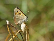 蝴蝶- plebejus阿格斯 库存图片