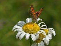 蝴蝶- plebejus阿格斯 库存照片