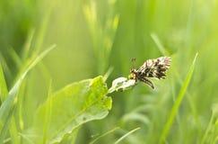 蝴蝶(Zerynthia polyxena)在草浅DOF 免版税库存图片
