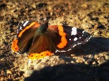 蝴蝶Aglais urticae坐地面 免版税库存照片