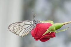 蝴蝶aporia Crataegi坐一朵红色花 库存图片
