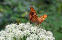 蝴蝶Argynnis paphia 免版税图库摄影