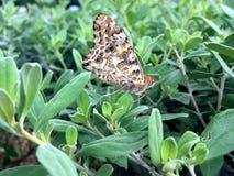 蝴蝶cardui夫人被绘的蛱蝶 免版税库存图片