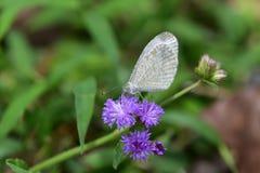 蝴蝶catopsilia cav花名字波诺马科学violacea百日菊属 库存图片