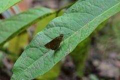 蝴蝶catopsilia cav花名字波诺马科学violacea百日菊属 库存照片