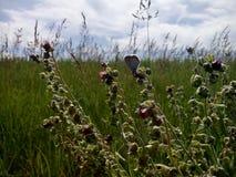 蝴蝶catopsilia cav花名字波诺马科学violacea百日菊属 免版税图库摄影