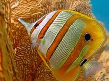 蝴蝶chelmon copperband鱼拉丁命名rostratus 免版税图库摄影