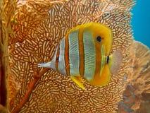 蝴蝶chelmon copperband鱼拉丁命名rostratus 免版税库存图片