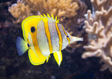 蝴蝶chelmon copperband鱼拉丁命名rostratus 免版税库存照片