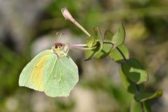 蝴蝶cleopatra提供的花 免版税库存照片