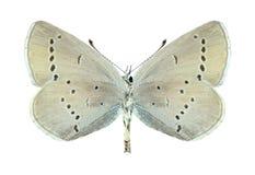 蝴蝶Cupido minimus (女性) (下面) 免版税库存图片