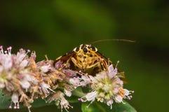 蝴蝶Euplagia Quadripunctaria喝从花的花蜜 免版税库存图片