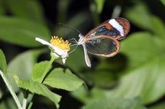 蝴蝶glasswing的greta oto 免版税库存图片