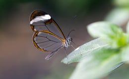 蝴蝶glasswing的greta oto 图库摄影