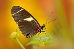 蝴蝶Heliconius cydno galanthus,在自然栖所 从哥斯达黎加的好的昆虫绿色森林蝴蝶的坐 免版税库存照片