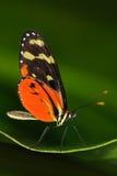 蝴蝶Heliconius Hacale zuleikas,在自然栖所 从哥斯达黎加的好的昆虫绿色森林蝴蝶的坐 免版税库存图片