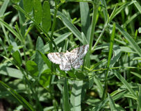 蝴蝶Heliomata glarearia 库存图片