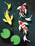 蝴蝶koi游泳在池塘 库存图片