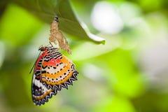 蝴蝶lacewing的豹子 免版税库存照片