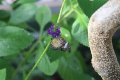 蝴蝶lacewing的豹子 免版税图库摄影