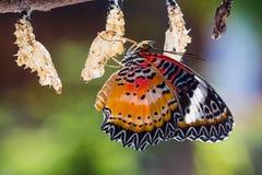 蝴蝶lacewing的豹子 免版税库存图片