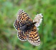 蝴蝶Melitaea cinxia 免版税库存照片