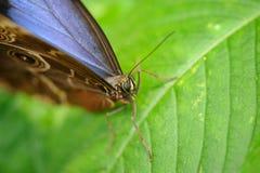 蝴蝶Morpho peleides接近的顶头细节  库存图片