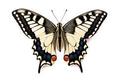 蝴蝶Papilio machaon 免版税库存图片