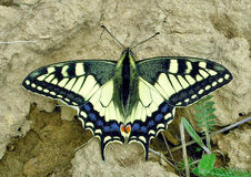 蝴蝶Papilio machaon 图库摄影