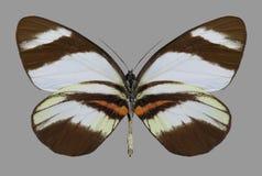 蝴蝶Perrhybris洛雷纳下面 库存照片