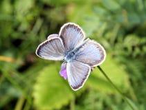 蝴蝶Plebejus阿格斯 库存照片