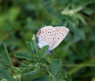 蝴蝶Plebejus阿格斯 库存图片