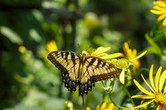 蝴蝶Swallowtail花蜜庭院黄色 库存图片