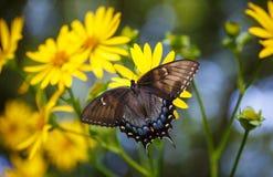 蝴蝶Swallowtail花蜜庭院黄色 免版税库存照片