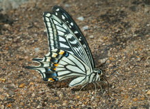 蝴蝶swallowtail (Papilio xuthus) 1 免版税图库摄影