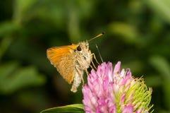 蝴蝶Thymelicus Sylvestris喝从c花的花蜜  免版税图库摄影