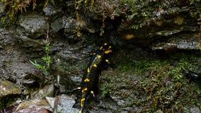 蝾本质上,与黄斑两栖动物的黑爬行动物在森林里 影视素材