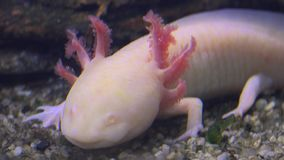 蝾螈、墨西哥蝾钝口螈属Mexicanum或墨西哥走的鱼,实时, 4k,超hd 股票录像