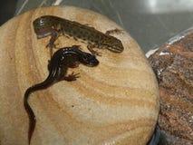 蝾螈在我的庭院池塘 免版税图库摄影