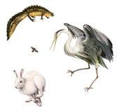 蝾螈,野兔,飞行,灰色苍鹭 库存图片