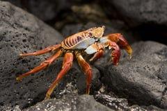 螃蟹加拉帕戈斯群岛lightfoot突围 库存照片