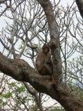 螃蟹吃在树的短尾猿 免版税库存图片