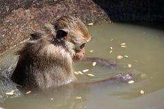 螃蟹吃坐在嘴宽卵形瓦器水碗的短尾猿猴子 图库摄影
