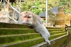 螃蟹吃放松在寺庙墙壁上的短尾猿 免版税库存照片