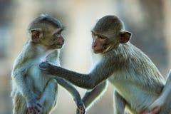 螃蟹吃短尾猿猕猴属fascicularis,新郎每更加年轻的ma 免版税库存图片